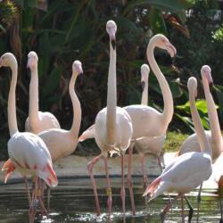 Limassol Zoo Flamingos