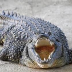 Pafos Zoo Crocodiles