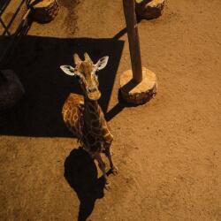 Pafos Zoo Giraffe