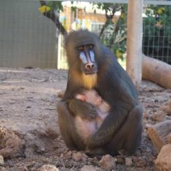 Pafos Zoo Mandrill